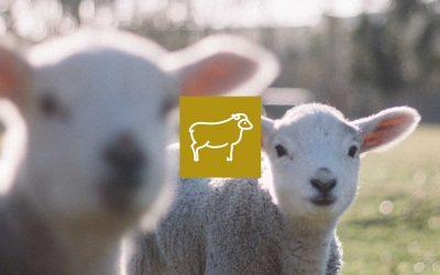 Produire des agneaux bio et demande du marché