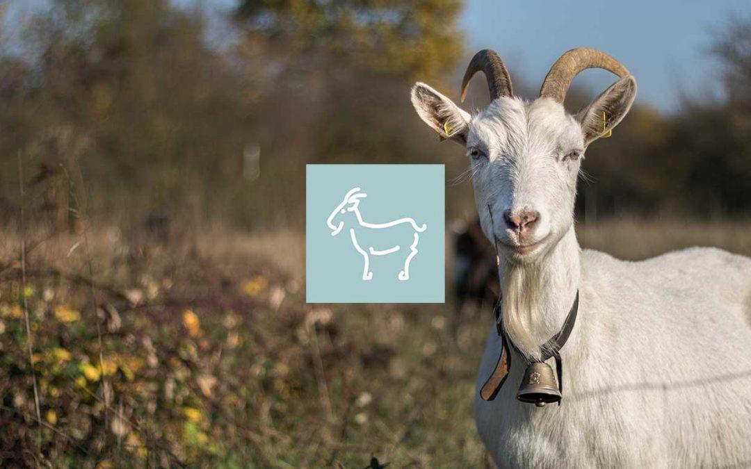 Produire du lait de chèvre bio – Clé de la conversion en caprin lait